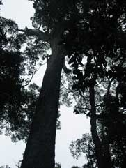 Kalanderboom