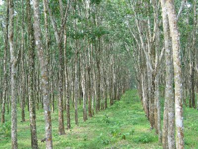 Rubber~Tree~Plantation