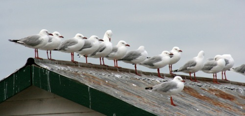 seagull-on-roofweb