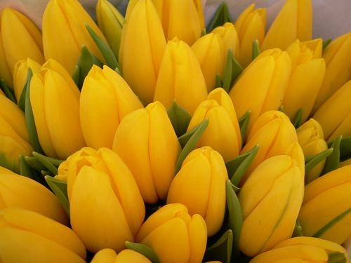 geel tulpe