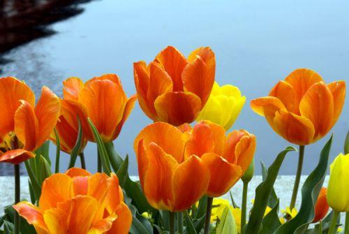 oranje tulpe