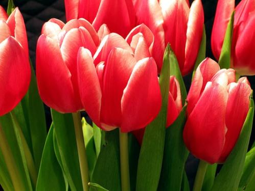 pienk tulpe
