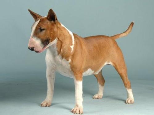 english bull terrier1