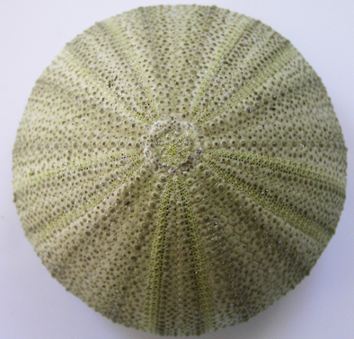 green-top-urchin