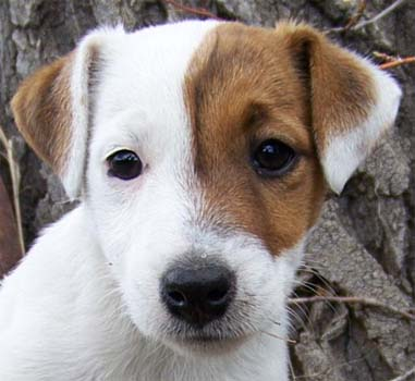 Jack-Russell-Puppy