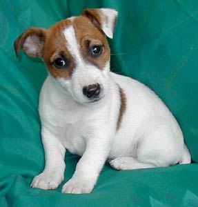 jack-russell-terriers-puppies-19