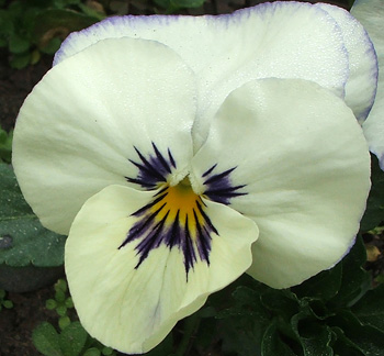 pansy-flower-white