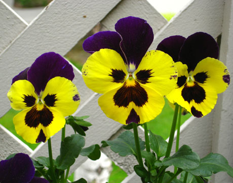 patio-pansies-051809-lg