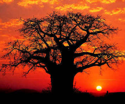 South africa kruger park baobab tree in sunset large1